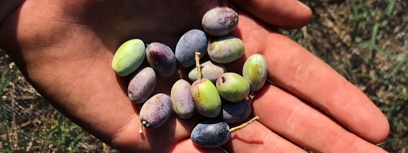 Olive olio Merico